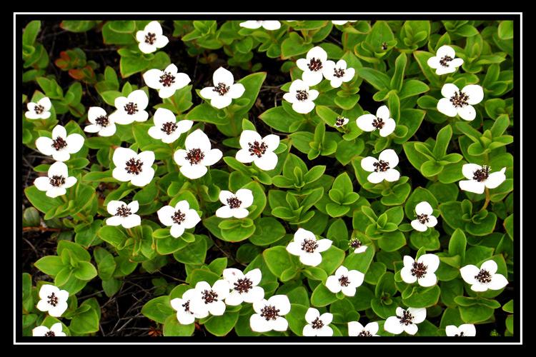 Черника цветок